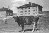 Cow in front of Administration and Old Main Buildings.