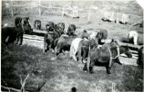 Civilian Conservation Corps -- Ferron -- Camp F-11 Company 959 -- Owen Price -- Horses