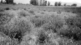 Alfalfa field mixed with Russian thistle