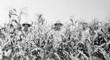 Men in cornfield