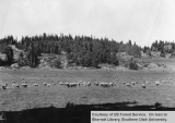 Sheep Grazing Near Cedar Breaks