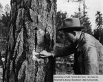 Ranger Williams Marks Tree For Cutting