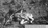 Fawn which died from starvation