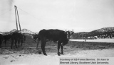 Emergency snow removal, bull, 1949