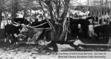 Emergency snow removal, cattle, 1949