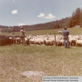 Sheep and cattle grazing, Midway Valley