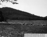Sheep grazing around Navajo Lake