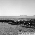 Cattle being herded out of corral