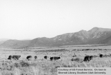 Cattle grazing, location unknown