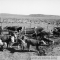 Cattle in a corral