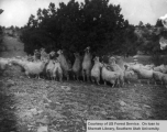 Angora goats feeding on alligator juniper