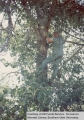 Ray Congdon, radio technician, in a tree