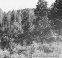 Silviculture, aspen reproduction