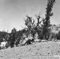Things: Bristlecone Pine