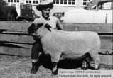 Sheep, Champion Hampshire ram