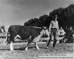 Steers, Grand Champion, 1940