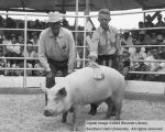 Hogs, Reserve Champion, 1956