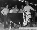 Steers, Champion fat, 1951