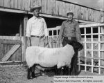 Rams, Reserve Champion Suffolk, 1956