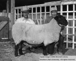 Sheep, Grand Champion Columbia, 1956