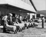 People, unidentified group with sheep