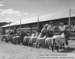 People, lined up with sheep