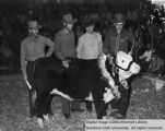 Steers, Grand Champion, 1949