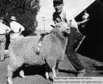 Sheep, Champion Columbia