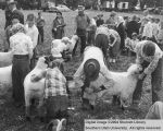 Sheep, 4-H fitting and showing contest