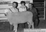 Sheep, unidentified