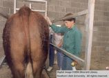 Steer, being groomed