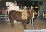 Steer, Reserve Champion, 1987