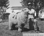 Sheep, Champion Rambouillet