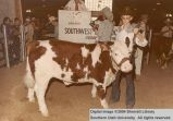 Steer, unidentified