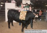 Steers, Iron County Champion, 1987