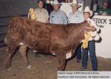 Steers, Reserve Champion, 1988