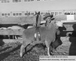 Sheep, Grand Champion Columbia, 1954