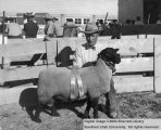 Rams, Reserve Champion Suffolk, 1954