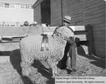 Sheep, Grand Champion Rambouillet