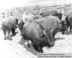 Small herd of buffalo in corral; Arizona