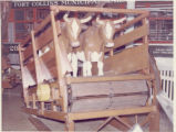 Oxen in wagon